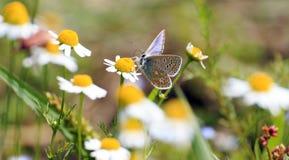Polyommatus Ikarus auf Gänseblümchen Stockfotos