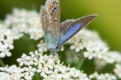 Polyommatus Ikarus auf weißen Blumen Lizenzfreies Stockbild