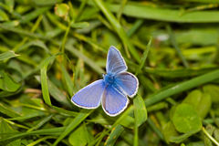 Polyommatus Ikarus, geläufiges Blau Lizenzfreies Stockbild