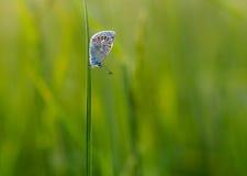 Polyommatus thersites Royalty Free Stock Image