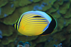 Polyp butterflyfish. (Chaetodon austriacus) in the coral reef of the red sea Stock Photos
