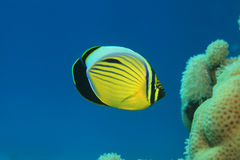 Polyp butterflyfish. (Chaetodon austriacus) in the coral reef of the red sea Royalty Free Stock Images