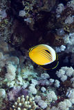 Polyp butterflyfish in the Red sea. Polyp butterflyfish in the Red sea Royalty Free Stock Image