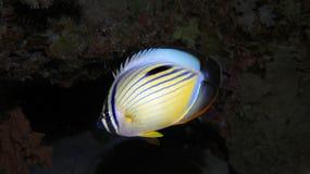 Polyp Buttlerflyfish royalty free stock photos