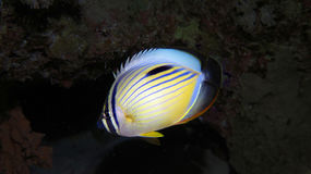 Polype Buttlerflyfish Photos libres de droits