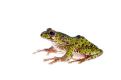 Polypedates duboisi, flying tree frog on white Royalty Free Stock Photography