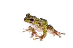 Polypedates duboisi, flying tree frog on white Stock Images