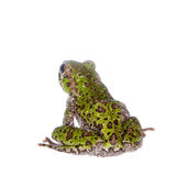 Polypedates duboisi, flying tree frog on white Stock Photo