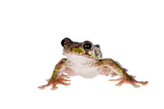 Polypedates duboisi, flying tree frog on white Royalty Free Stock Images