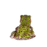 Polypedates duboisi, flying tree frog on white Royalty Free Stock Photo