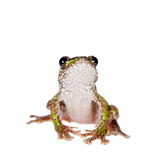 Polypedates duboisi, flying tree frog on white Royalty Free Stock Image