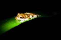 Polypedates  - Tree frog Stock Photos