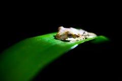 Polypedates  - Tree frog Royalty Free Stock Photos