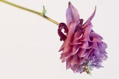 Polypetalous lilac granny'sbonnetten Royalty-vrije Stock Afbeeldingen