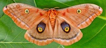 Polyphemus飞蛾 库存图片