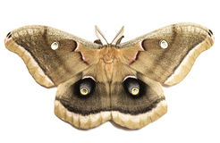 Polyphemus飞蛾 免版税图库摄影