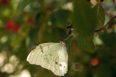 Polyphemus blanc de Morpho de papillon de Morpho photos libres de droits