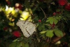 Polyphemus blanc de Morpho de papillon de Morpho image stock