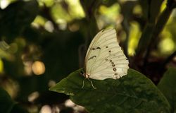Polyphemus blanco de Morpho de la mariposa de Morpho imagenes de archivo
