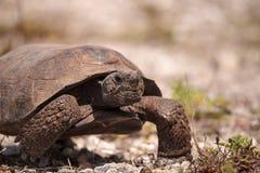 Polyphemus de Gopherus de tortue de Gopher de la Floride photo libre de droits