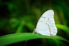 Polyphemus de Morpho, le morpho blanc, papillon blanc du Mexique et l'Amérique Centrale Grand papillon blanc, se reposant sur les image libre de droits