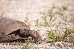 Polyphemus del Gopherus de la tortuga de Gopher de la Florida imagenes de archivo
