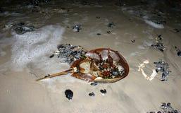 Polyphemus do Limulus do caranguejo em ferradura jogado pela tempestade no b Imagem de Stock