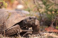 Polyphemus för Gopherus för Florida goffersköldpadda arkivfoton