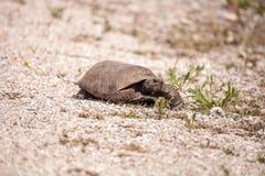 Polyphemus för Gopherus för Florida goffersköldpadda royaltyfri fotografi