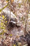 Polyphemus för Gopherus för goffersköldpadda royaltyfri fotografi
