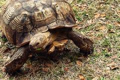 Polyphemus för Gopherus för goffersköldpadda fotografering för bildbyråer
