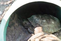 Polyphemus för Gopherus för sköldpadda för goffer två royaltyfria foton