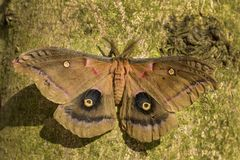 Polyphemus ćma - Antheraea polyphemus Fotografia Royalty Free