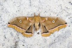 Polyphemus mal royaltyfria foton