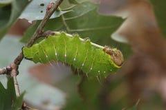 Polyphemus mal Caterpillar arkivfoton