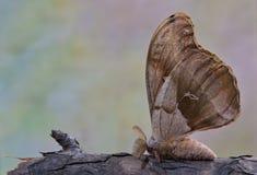 Polyphemus mal på en filial med dess vingar upp royaltyfri fotografi