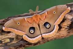 Free Polyphemus Moth Royalty Free Stock Photos - 5181698
