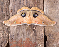 Free Polyphemus Moth Royalty Free Stock Photography - 55789147