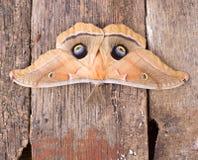 Polyphemus Moth royalty free stock photography