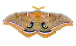 Polyphemus Moth Stock Images