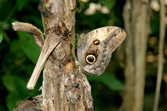 Polyphemus moth - Brown moth with spots on its wings. Sitting on the trunk of a tree in the rainforest, Roatan, Honduras royalty free stock photo