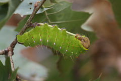Polyphemus Moth Caterpillar Stock Photos