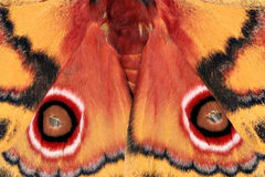 Polyphemus Moth Royalty Free Stock Image