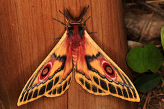 Polyphemus Moth Royalty Free Stock Photos