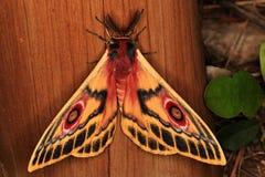 Polyphemus Moth Royalty Free Stock Photos