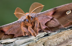Polyphemus moth portrait. A polyphemus moth is posing for a portrait Stock Photos