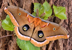 Polyphemus moth on tree. A polyphemus moth is perched on a vine covered tree Royalty Free Stock Image