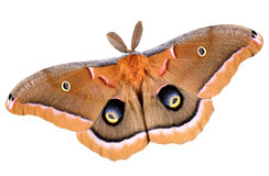 Polyphemus moth on white. A polyphemus moth is photographed on a white background Royalty Free Stock Photography