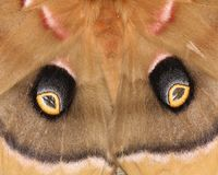 Polyphemus Moth - Wing Detail Royalty Free Stock Images