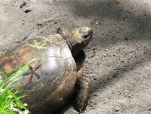 Polyphemus Tortoise Gopherus γοπχερ Στοκ Φωτογραφίες